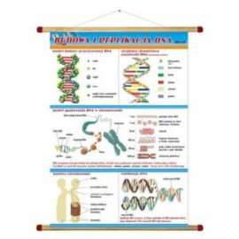 Budowa i replikacja DNA