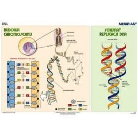Podstawy genetyki - DNA