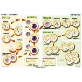 Podstawy genetyki - podział komórek
