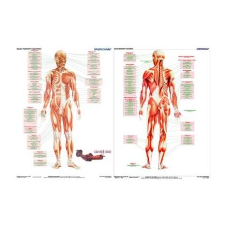 DUO Układ mięśniowy człowieka