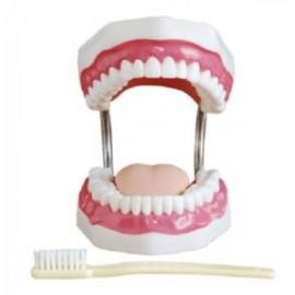 Model do nauki higieny jamy ustnej