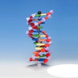 MODEL DNA – PODSTAWOWY