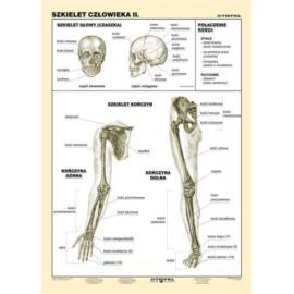 Szkielet człowieka cz. II 100 x140 cm