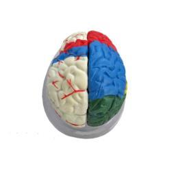 Mózg model kolorowy - 8 częściowy
