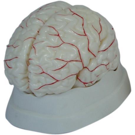 Mózg z naczyniami, model 8 częściowy