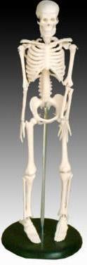 Szkielet człowieka 42 cm