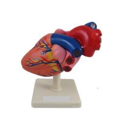 Serce model rzeczywisty wymiar